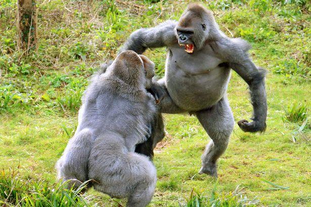 Майк Тайсън подкупил пазач, за да се бие с огромна горила